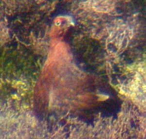 Male Red Grouse (pic: Andy Mabbett)