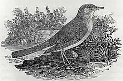 Image: Thomas Bewick's 1797 engraving of a Nightingale