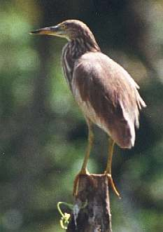 Indian Pond Heron, copyright Cliff Buckton