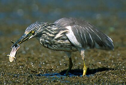 Indian Pond Heron, copyright Vijay Cavale