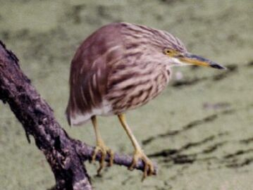 Indian Pond Heron, copyright Tony Coatsworth