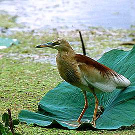 Indian Pond Heron, copyright Sumit Sen