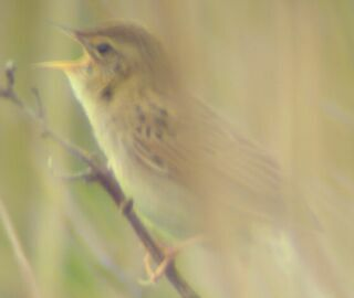 Grasshopper Warbler. Pic by Andy Mabbett